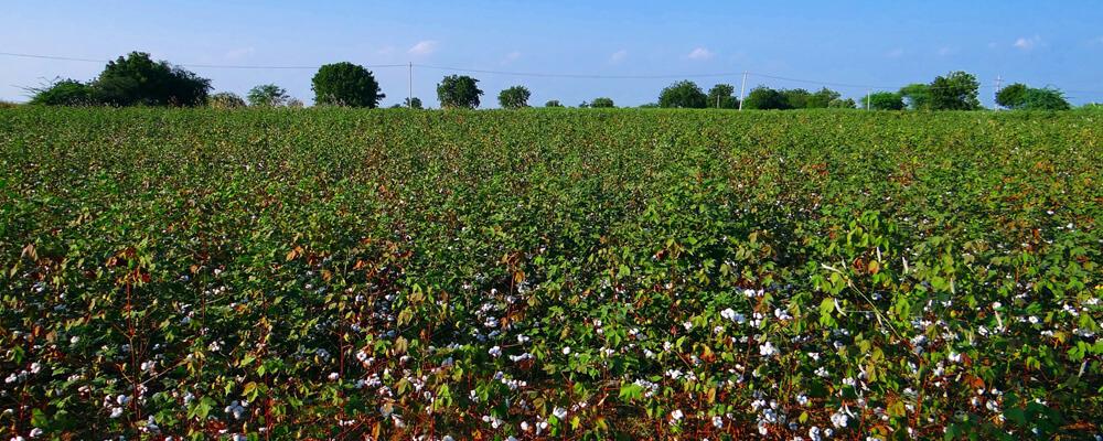 Bio-Baumwolle-Pflanze